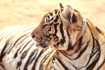 Tiger was raised in temples. Popular Attractions Kanchanaburi.