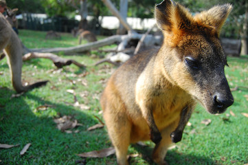 Wallaby at park on grass