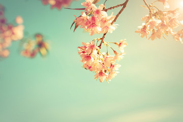 Wall Mural - Vintage nature background of beautiful cherry pink flower in spring. pastel color filter effect
