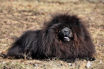 Big fluffy Chow Chow dog