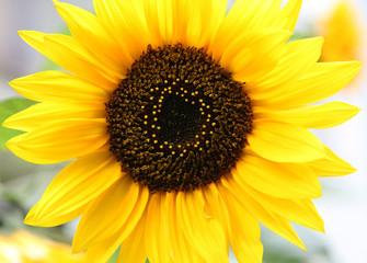 Sunflower in sunbeams