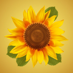 Sunflower with green leafs, isolated on a vintage background. Vector illustration.