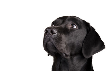 Portrait of a black Labrador Retriever looking up (isolated on white, with empty space for your text)