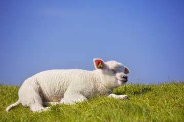 Texel lamb on the island of Texel, The Netherlands