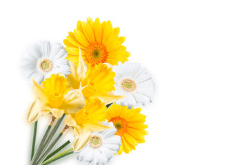 Gerber Daisy,narcissus isolated on white background