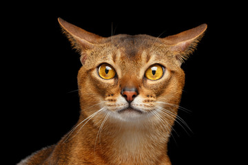 Closeup Portrait of curiosity Abyssinian cat Isolated on black