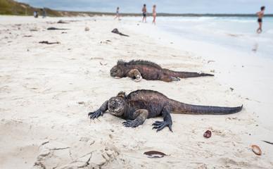 Galapagos with marine iguana