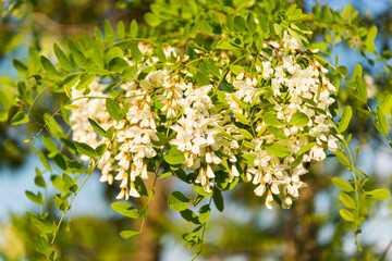Acacia tree blossoms