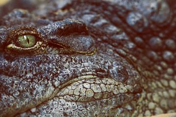 Closeup of a Crocodile Head