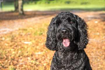 Black labradoodle labrador poodle dog pet sitting outside watching waiting alert looking hot happy excited white panting smiling and staring forward