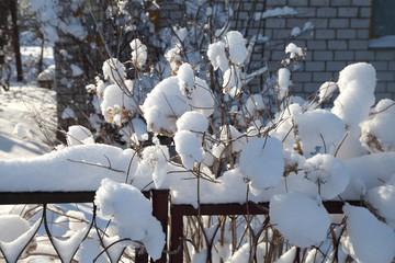 куст гортензии под большим снегом на даче
