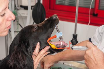 Intubation d'un chien pour une anesthésie générale.