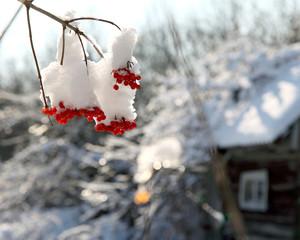 рябина под снегом зимой на фоне домика