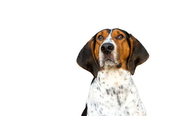 Treeing Walker Coonhound hound dog looking expectantly begging waiting watching staring sitting obediently with ears forward isolated on white background