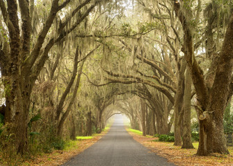 Lines of old live oak trees with spanish moss hanging down on a scenic southern country road Wall mural