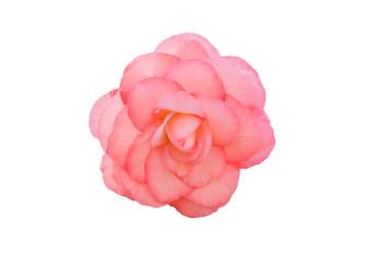 Begonia Tuberhybrida pink flower.