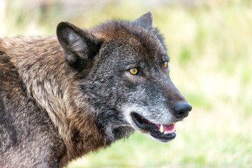 Closeup view of the face of a gray wolf