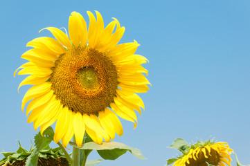 Sun flower in garden.(Soft focus.)