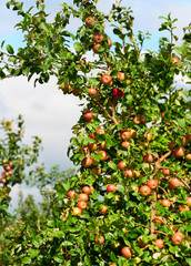 Branch apple tree with a lot of red ripe apples.