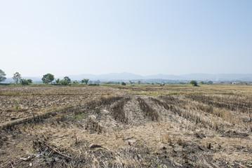 Rice fields after a bushfire