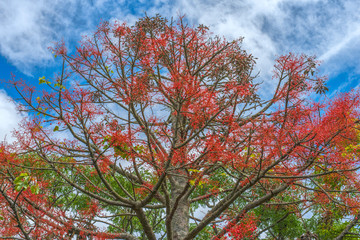 Flame tree with flowers blooming in garden