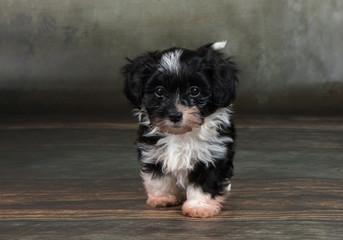 Havaneser Welpe Hund