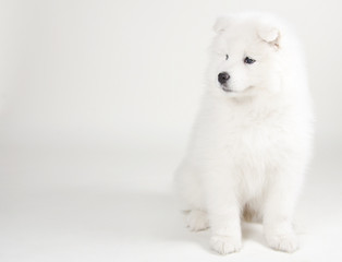Poster Ijsbeer Lovely Samoyed puppy (on a light gray background)