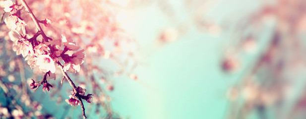Abstract blurred website banner background of of spring white cherry blossoms tree. selective...