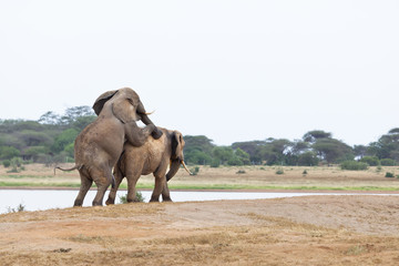Mating Elephants At Lake