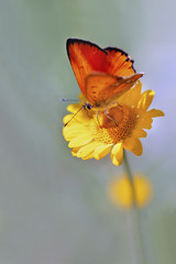 Red butterfly on the yellow flower
