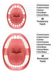 Temporary Teeth - Permanent Teeth - Number of milk teeth and adult teeth. Isolated vector illustration on white background.