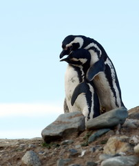 Magellanic Penguins at the penguin sanctuary on Magdalena Island in the Strait of Magellan near Punta Arenas in southern Chile.