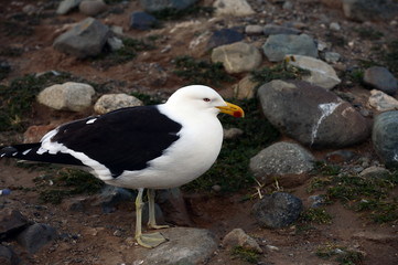 Kelp Gull (Larus dominicanus), also known as the Dominican Gull, nesting at the penguin sanctuary on Magdalena Island in the Strait of Magellan.