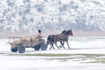 Calugareni, Romania, man in cart with horses transporting animals