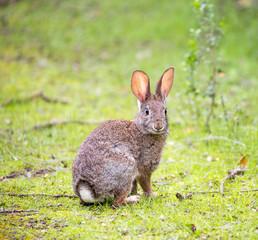 An alert Cottontail rabbit (Sylvilagus) in a grassy field.