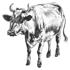 Monochrome illustration with cow.
