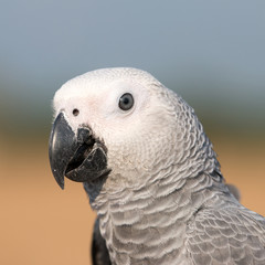 Face of Parrot