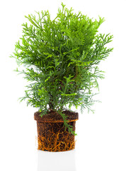 Thujopsis is a conifer in the cypress family Cupressaceae, with