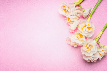 Lovely daffodils flowers on light pink background, top view, place for text. Spring flowers bunch