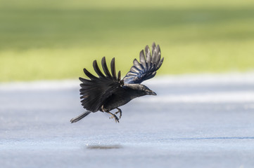 Crow, Corvus corone, flying from frozen ground during the winter