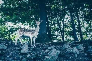 Female fallow deer in nature