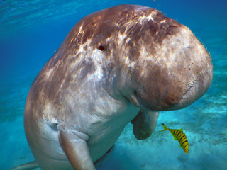 The dugong in the Marsa Mubarak facing the camera.