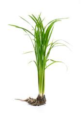 Seedlings Rice.