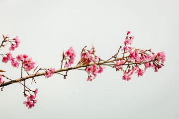 Wild Himalayan Cherry ( Prunus cerasoides ) ( Sakura in Thailand