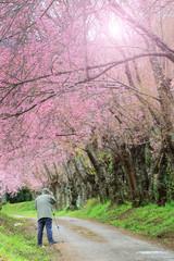 Photographer taking photo under pink sakura blossom trees