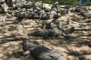 The crocodile with open jaws eating looking sleeping