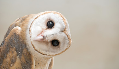 Poster de jardin Chouette common barn owl ( Tyto albahead ) close up