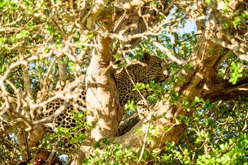 Leopard hiding in a tree