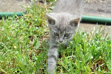 gray kitten walking on the green field
