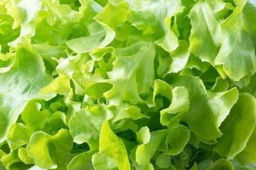 Close Up of Green Oak Leaves Lettuce Background
